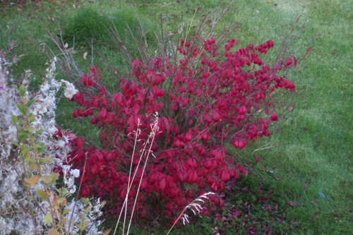 Fall reds on a little bush