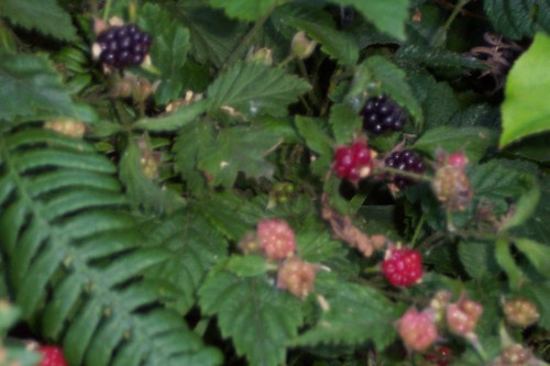 First blackberries