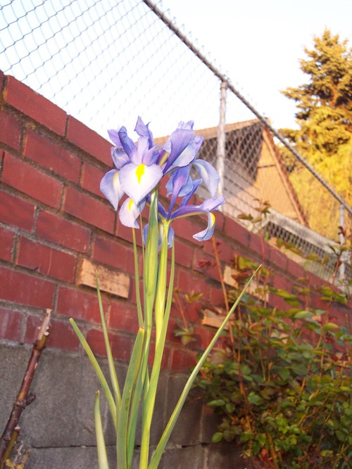 Iris in a May evening